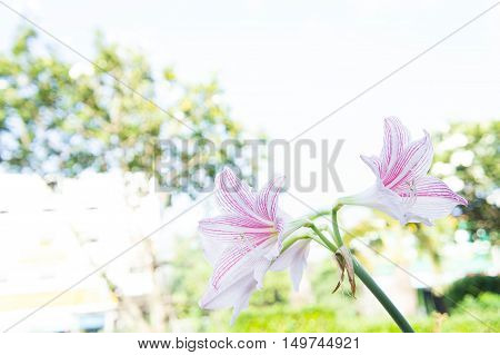 abstract flower lilly background lilly flower Fresh color in morning