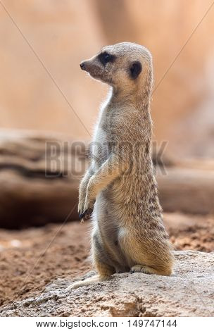 An meerkat standing in a typical pose