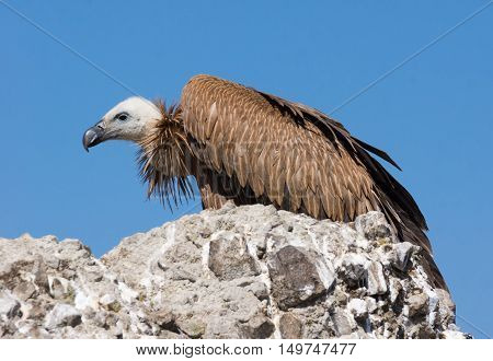 Griffon vulture over rock on blue sky background
