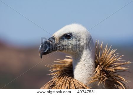 Closeup of griffon vulture head on refocused background