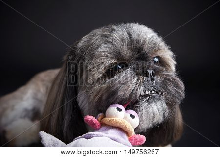Cute litle dog playing with a stuffed animal toy