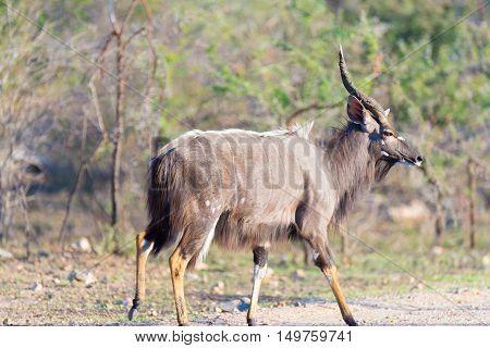Male Nyala Walking In The Bush. Wildlife Safari In The Kruger National Park, Major Travel Destinatio