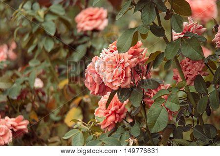 Beautiful roses garden. Rose flowers hiding in leaves. Vintage color.