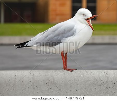 The seagull with an open beak looks interestingly