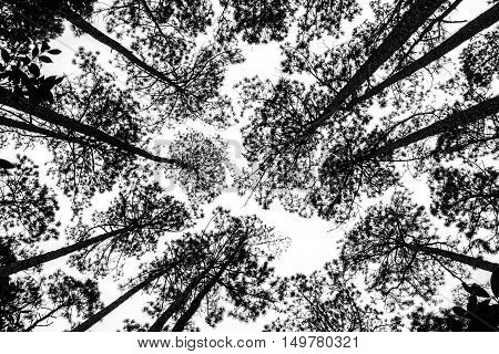 A Black and White picture of the treetops