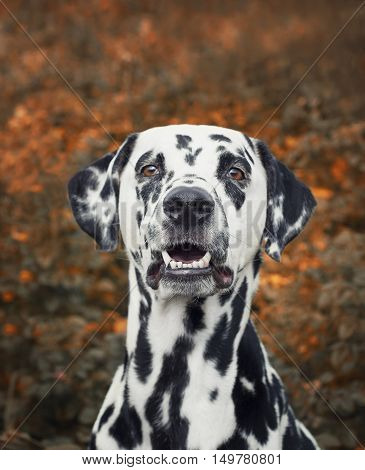 portrait of a cute dalmatian dog -- toned and selective focus on nose