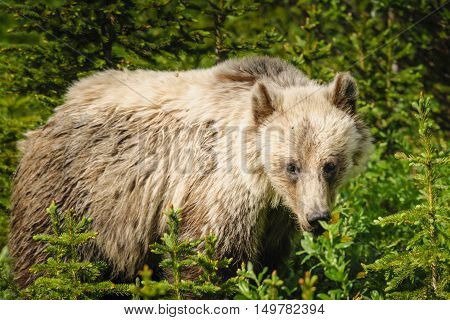 Wild Grizzly bear feeding on summer foliage Kananaskis Country Alberta Canada