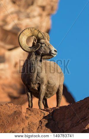a full curl desert bighorn sheep ram in red rocks in nevada