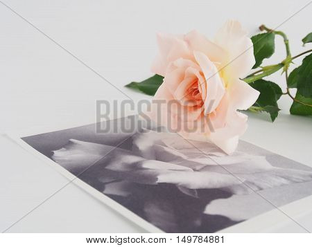 Pink rose in autumn on white background / Along with the blurred image of the printed monotone roses