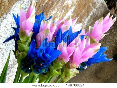 Bouquet of Pink and Blue Curcuma flower in Or Yehuda Israel October 19 2007