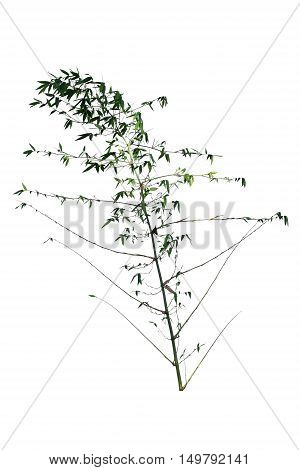 Bamboo Tree isolated on white background. Tree object for design