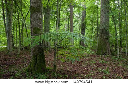 Natural stand of Landscape Reserve with oak and linden tree moss wrapped just before sunset, Bialowieza Forest, Poland, Europe