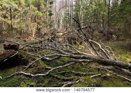 Broken birch tree lying in spring, Bialowieza Forest, Poland, Europe