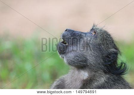 Head shot of a Baboon at Waterberg Namibia