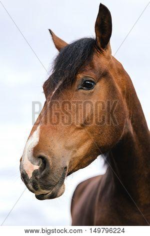 Beautiful Brown Horse Head, Portrait