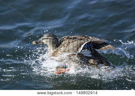 nature, animals, birds, wildlife, ducks, waterfowl, Mallard, Drake, duck