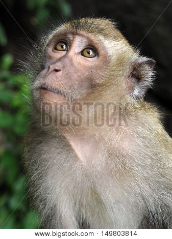 Long tailed Macaque monkey looking up portrait