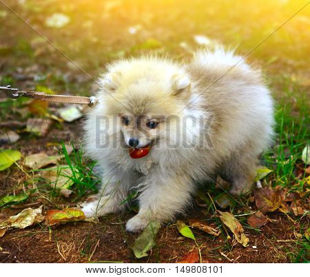 little dwarf spitz puppy cose up photo on the green grass sunny background
