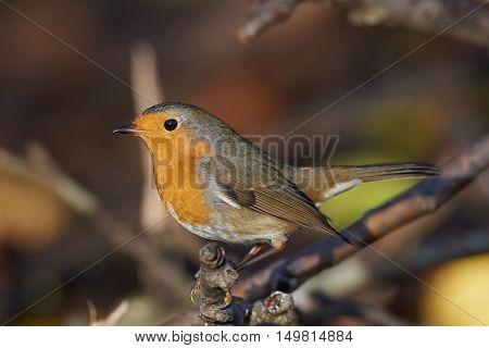 European robin (Erithacus rubecula) sitting on a branch in its habitat