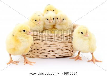 Young chickens in basket. Isolated on white background.