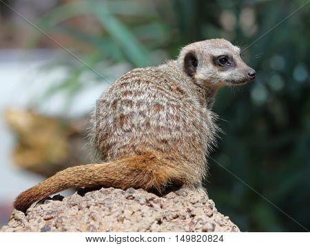 Suricate or Meerkat sitting on the stone