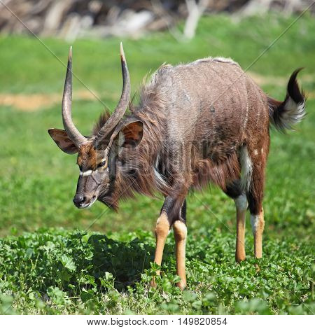 male antelope kudu standing in grassland looking straight to camera