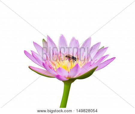 Lotus Isolated On White With Bee