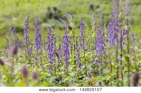 Closeup on Nordic wolfs-bane on a meadow. Common flower in the Nordic mountains. Aconitum lycoctonum