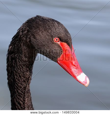 Focus On The Head Of A Black Swan