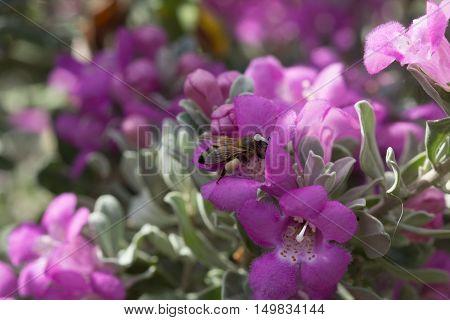 Pollen covered honeybee gathering from a purple sage flower