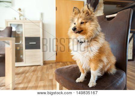 Shetland Sheepdog sits on a brown chair