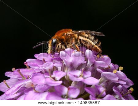 Bee Collect Pollen On Pink Flower