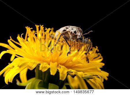 Macro Of Weevil En Face