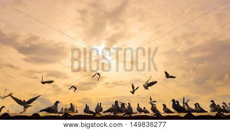 flock of pegeon on th roof with sun set
