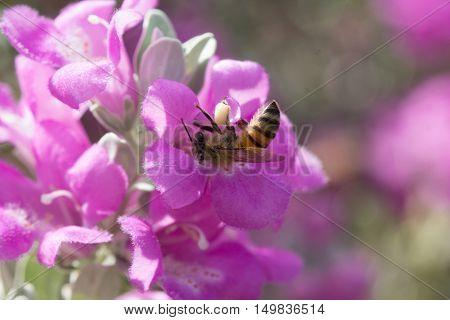 Honeybee gathering pollen from a purple sage flower