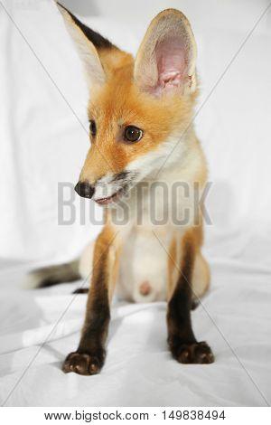 Furry fox cub sitting on bed