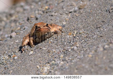 Light brown frog on grey sand chilling in warm sunshine close up