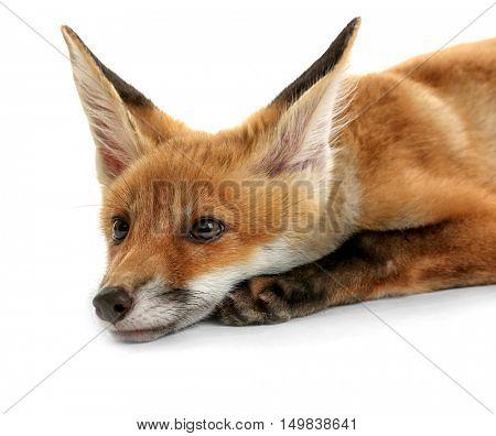 Beautiful fox cub lying isolated on white