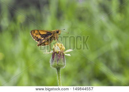 Butterfly Sucking nectar from flowers grass pollen.