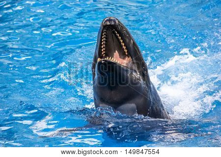 A laughing killer whale Orcinus Orca in the water.