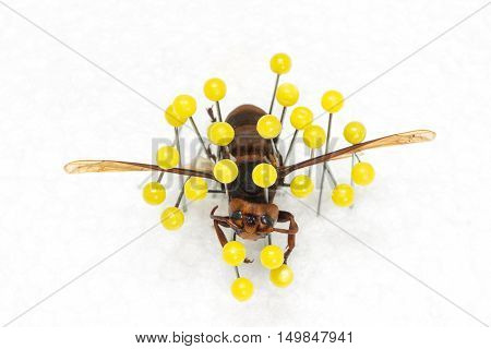 Dried Wasp, Dry Preservation Wasp