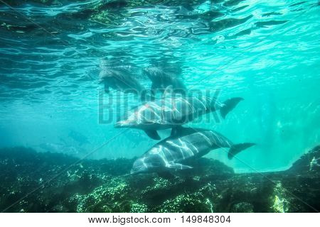 Group of dolphins swim and play in a water. Dolphin underwater sea background.