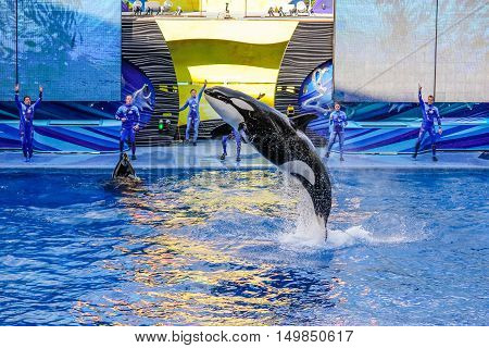 Orlando Florida United States - April 22 2012: the killer whale performs at Seaworld. Seaworld is an animal theme park oceanarium and to a marine mammal park.