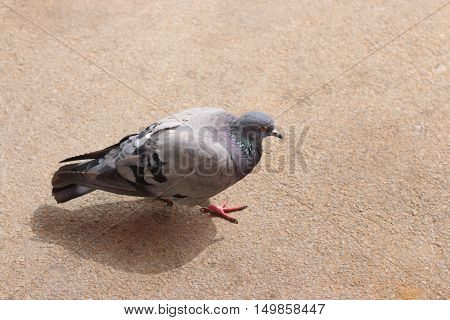Grey city pigeon walk on asphalt at summer synny day top view
