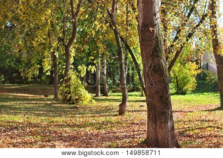 Trunk of tree in park among yellow leaves green grass and birch trees in autumn day