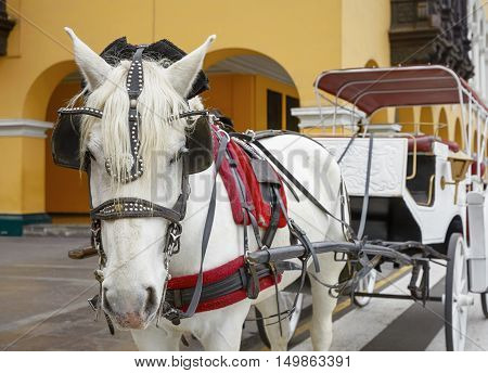 Traditional Horse-Drawn Vehicle in Lima Peru. A Beautiful White Horse Hitched to a Four Wheel Carriage.
