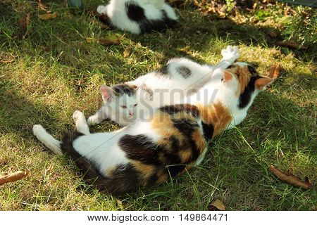 cute white kitten with gray spots with its tricolor mother