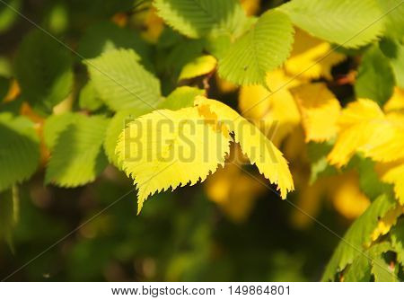 close photo of yellow and green leaves of hazel tree in autumn