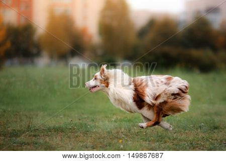 Dog Catching Frisbee In Jump