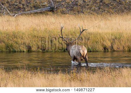 a bull elk in a stream during the fall rut